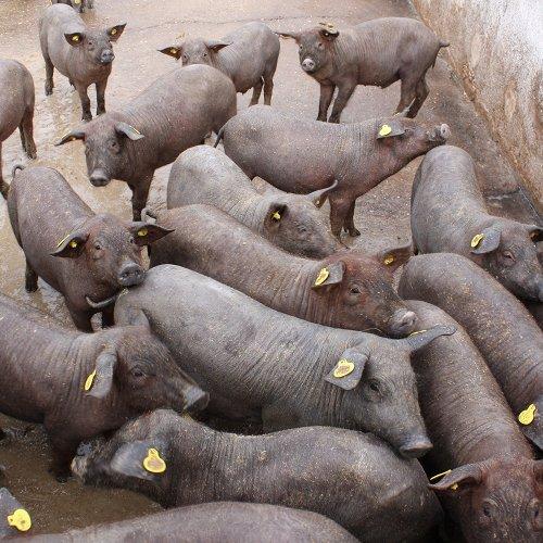 Cerdos ibéricos en una granja