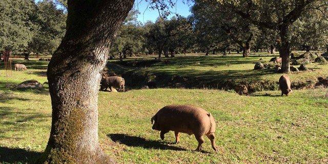 Cerdos en una dehesa ecológica de Las Lanchas