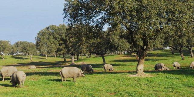 Cerdos ibéricos pata negra en una dehesa