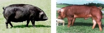 Pigs: Large Black (left) and Duroc (right).