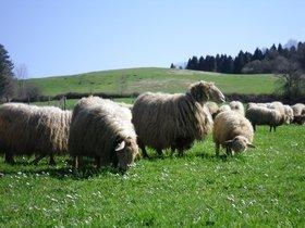 Sheep of the Latxa breed