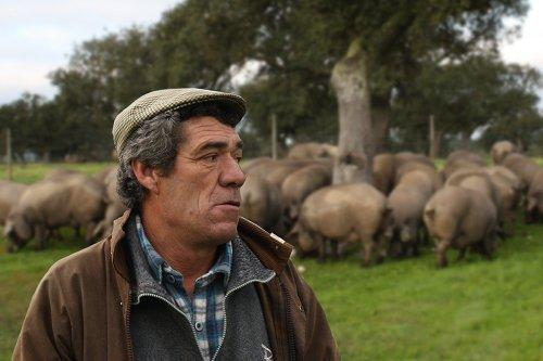 Pastor en una dehesa, con cerdos pastando detrás junto a una encina