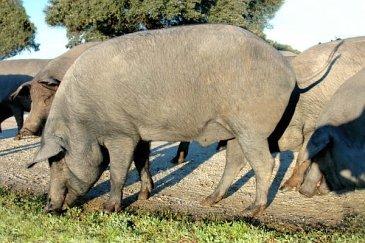 Ejemplares de cerdo ibérico (Retinto)